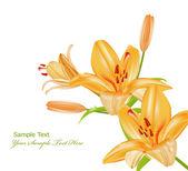 ベクトル小枝白い背景の上のオレンジ色のユリ — ストックベクタ