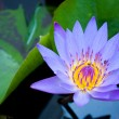 Stock Photo: Light blue lotus.