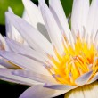 Постер, плакат: White lotus bloom fully