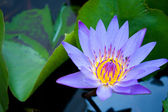 Light blue lotus. — Stock Photo