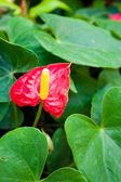 Fleurs d'anthurium. — Photo