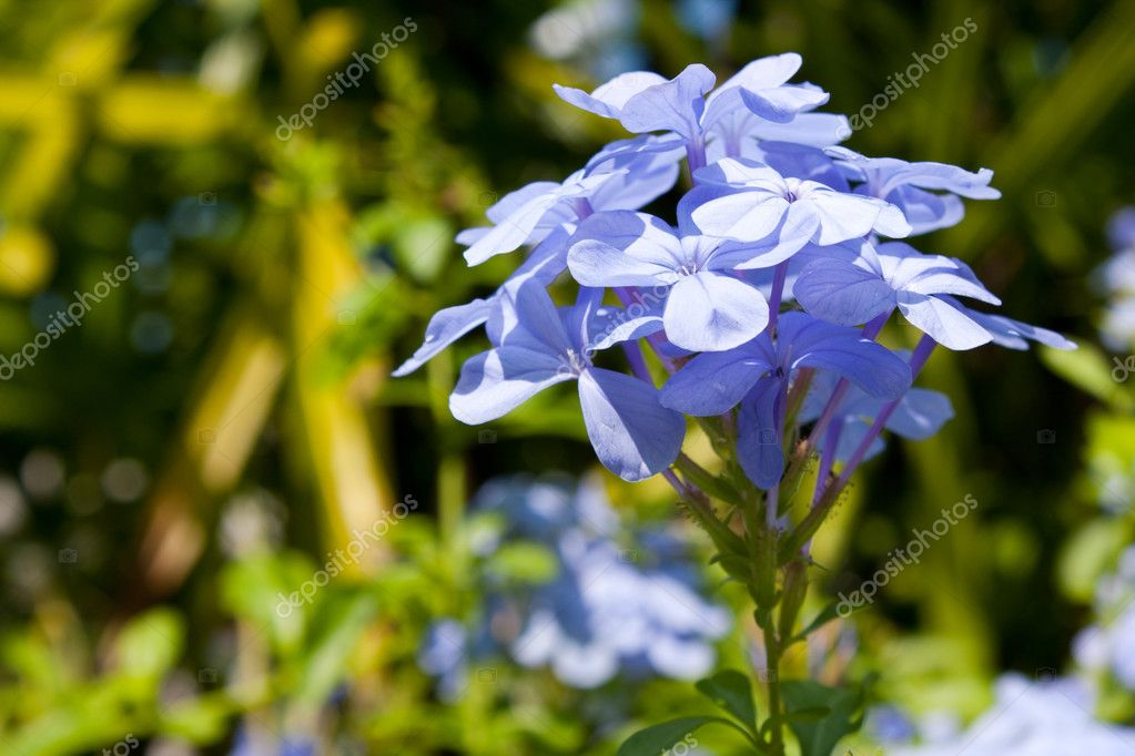 Flowers pale blue. The dominant one among a bouquet of garden  Stock Photo #4665943