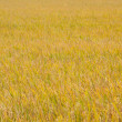Royalty-Free Stock Photo: Yellow rice fields.