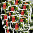 Collage of many photographs different red roses — Stock Photo