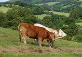 Vacas en el campo. — Foto de Stock