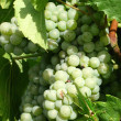 Photo: White grapes