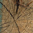 Tree rings — Stock Photo #3968022