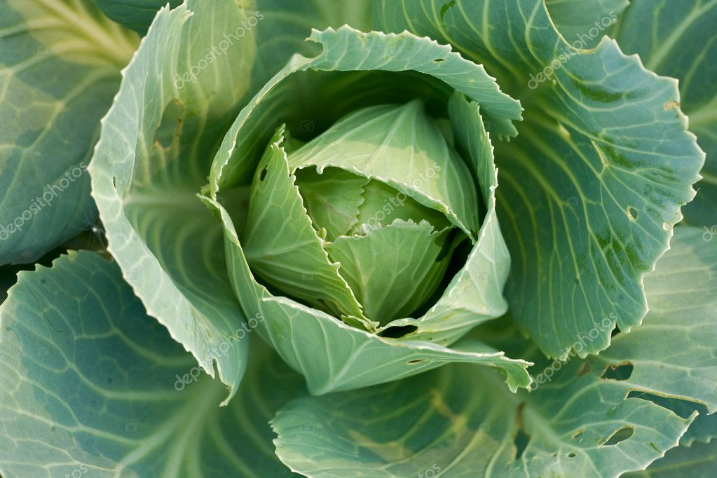 Green cabbage's head with leafs. Close-up, full frame.  Stock Photo #4139608