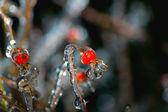 Frozen briar — Stock Photo