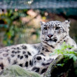 Gepard im Zoo — Stock Photo #4056919