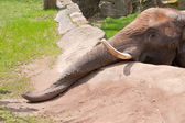 Elefant im Zoo — Stock Photo
