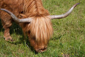 Highlandcattle — 图库照片