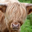 Highlandcattle — Stock Photo #4643828