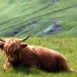 Highlandcattle — Stock Photo #4643838