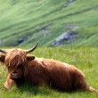 Highlandcattle - Stock Photo