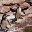 Pinguine — Stock Photo #4790654