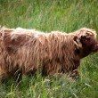 Junges Highlandcattle - Stock Photo