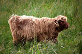 Junges Highlandcattle — Stock Photo