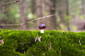 Close up of a small russule mushroom on the moss carpet — Stock Photo