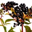Elderberries - Stock Photo