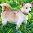 Stock Photo: Dog on grass