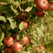 Cluster of ripe red apples — Stock Photo