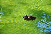 Pato — Foto de Stock