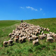 Stock Photo: Shepherd leads his sheep