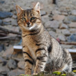 Stock Photo: Feral cat