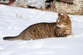 Feral cat in snow — Stock Photo