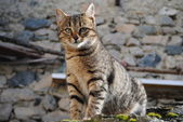 Feral cat — Stock Photo