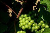 Wine making grapes — Stock Photo