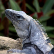 Stock Photo: Grey lizard