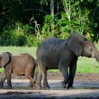 African Forest Elephants. - Stock Photo
