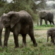 The family of the African Bush Elephants. - Stock Photo