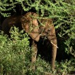 Elephant in bushes. - Stock Photo