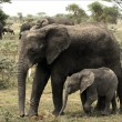 The elephant calf with mum - an elephant cow. - Stock Photo