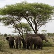 African Bush Elephants  under an  acacia. - Stock Photo