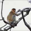Proboscis Monkey. - Stock Photo