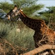 The giraffe eats an acacia. - Stock Photo