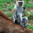 Vervet Monkey cub. - Stock Photo