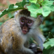 Vervet Monkey kid. - Stock Photo