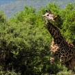 The giraffe also eats a prickly acacia. — Stock Photo