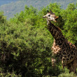 The giraffe also eats a prickly acacia. - Stock Photo