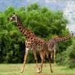 Two giraffes are grazed at acacia bushes. - Stock Photo