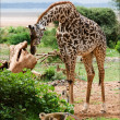 Giraffe and monkeys. - Stock Photo