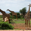 Three giraffes. - Stock Photo