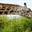 Stock Photo: The giraffe eats.