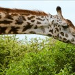 The giraffe eats. - Stock Photo
