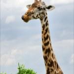 Постер, плакат: Portrait of a giraffe